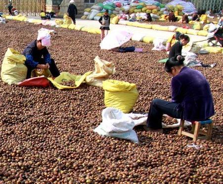 万博手机版下载隆林油茶籽获丰收