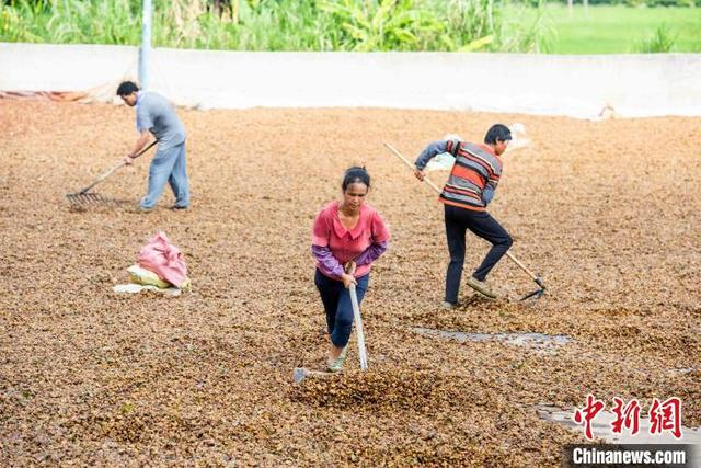 藤县古龙镇农民正在晒万博官网手机版网页登陆